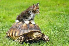 Kitten on turtle